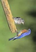 Bluebird, E - male with fledgling 20240